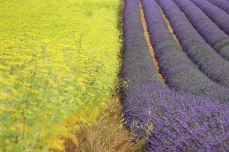 Ricard plantes fraîches pastis lavande fenouil champs